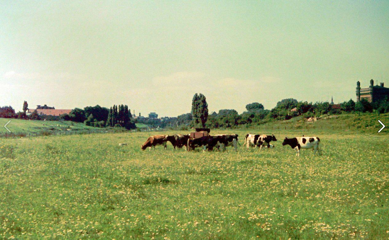 Weidende Kühe mit dem Wassermark als Orientierungsmarke. Bildvorlage: Gerald Sorger